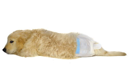 belly band: Golden retriever puppy in dog diapers looks down. with shy look.