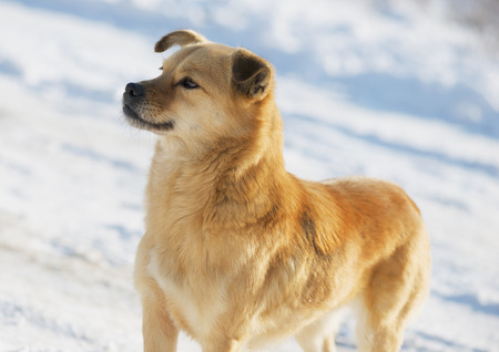 mongrel: Portrait of a mongrel dog in winter