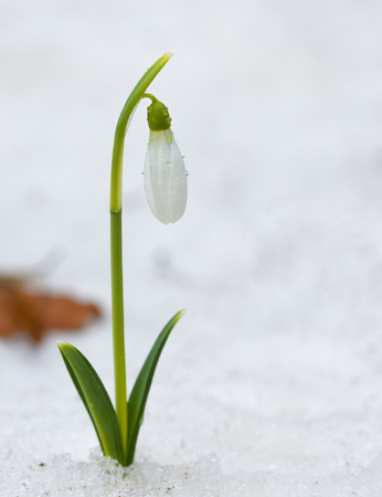 galanthus: Snowdrop flowers blooming in winter