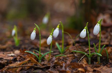 hojas antiguas: Snowdrops contra las hojas viejas de madera de primavera