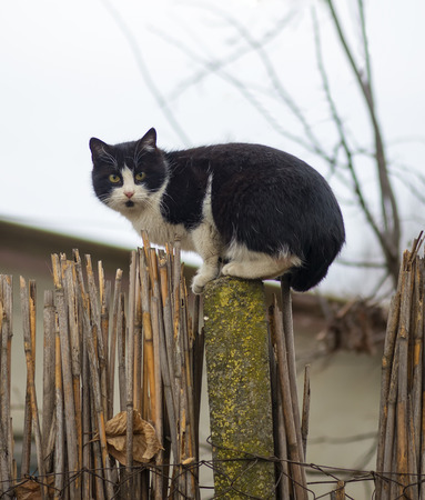 prowl: Cat on a fence. Neighbors cat is staring at photographer. Stock Photo