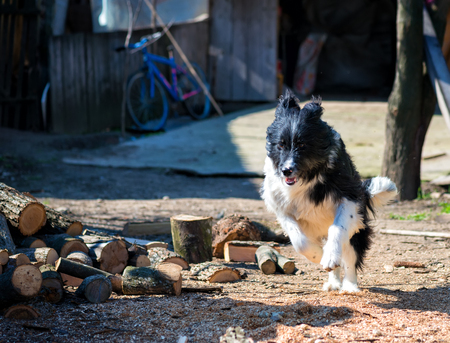 hankering: beautiful fun Sheepdog puppy running flying jump