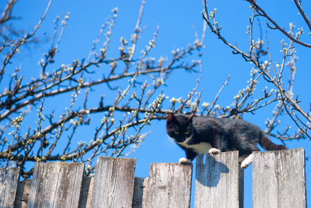 prowl: Cat on a fence. Neighbors cat is staring at photographer