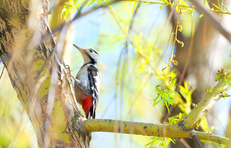 woodpecker: Great spotted woodpecker