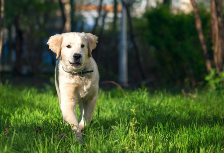 golden retriever puppy: Golden Retriever puppy runs over the meadow