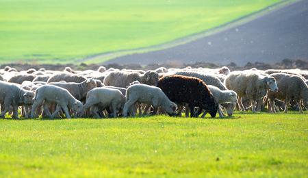 trespasser: flock of sheep