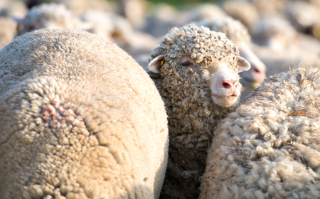 misfit: Concept of one sheep from herd looking at camera