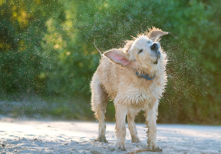flicking: Close up view of a golden labrador shaking sea water off his body on the beach shore. Stock Photo