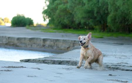 golden retriever puppy: Golden Retriever puppy runs over the beach Stock Photo