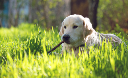 golden retriever puppy: Golden Retriever puppy playing with a stick