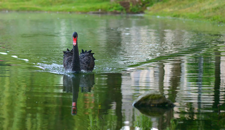 black swan swimming in a lake Stock fotó
