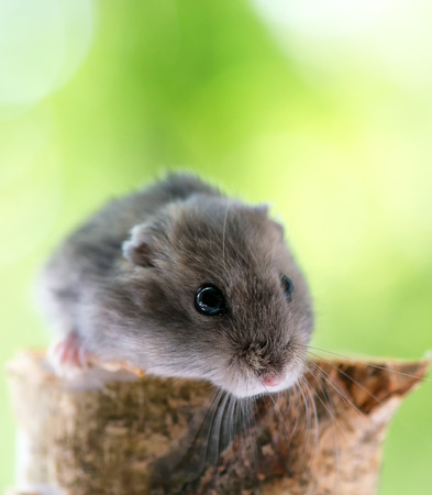 laughable: funny little hamster