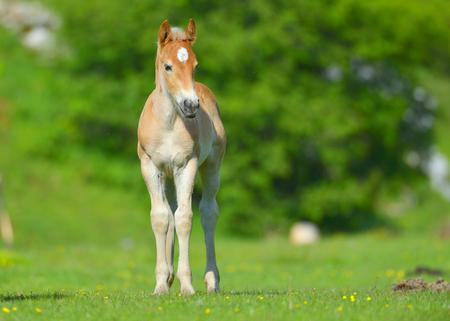 graze: little foal in the meadow Stock Photo