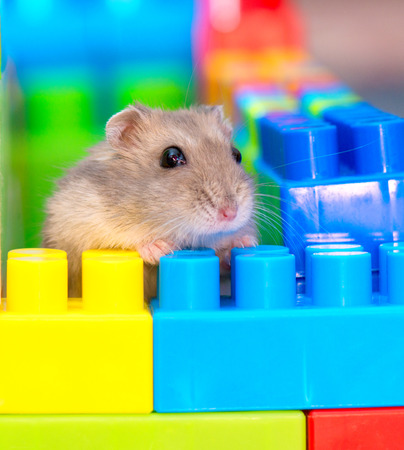 cubs: young dzungarian hamster in the toy cubs