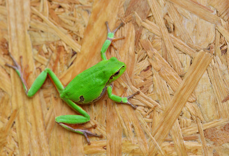 oriented: Small green tree frog hold on oriented strand board Stock Photo