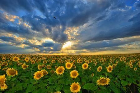 Summer landscape: beauty sunset over sunflowers field Stock Photo