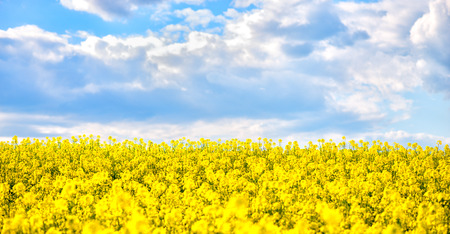 coleseed: golden field of flowering rapeseed with beautiful clouds on sky - brassica napus - plant for green energy and oil industry