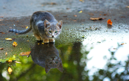 reflection: cat sitting at the edge of rain puddle. reflection in the water