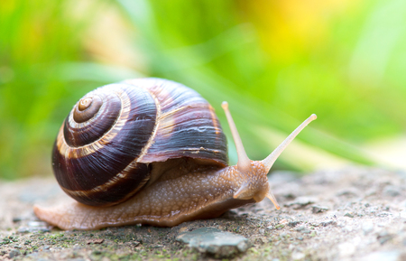 grape snail: brown long big snail round shell with stripes and with long horns crawling on the edge of stone closeup