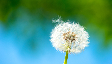 Dandelion in Summer against Blue Sky, with Plenty of Copy Space Stock Photo