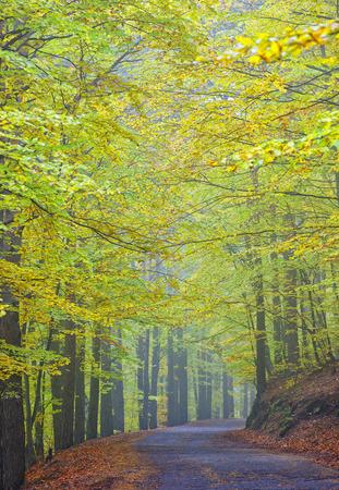 road in pine autumn forest, mist