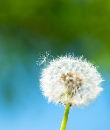 Single dandelion on green grass and water background
