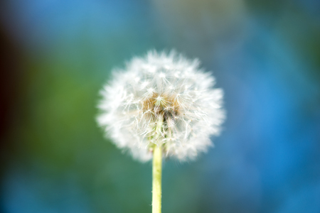 distinct: Single dandelion on green grass and water background