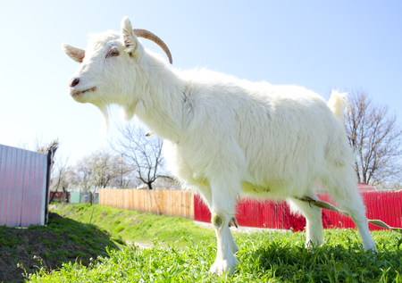 Young domestic white goat in front of rural area