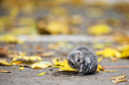 hamster sitting outdoor with autumnal leafs