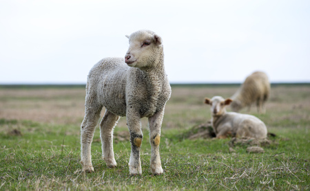 little lamb in the pasture