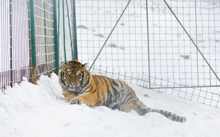 Young Siberian tiger  at zoo bad conditions. Winter time Stock Photo
