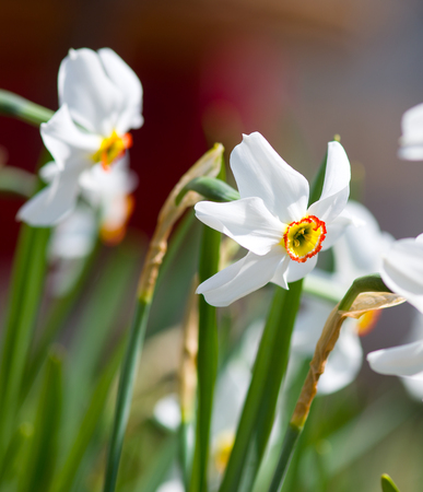 white daffodils in the garden Banco de Imagens