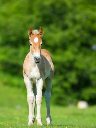 little foal in the meadow Stock Photo