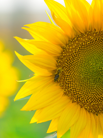 bee pollinating the sunflower