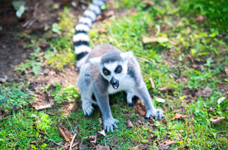 Angry ring-tailed lemur in the grass