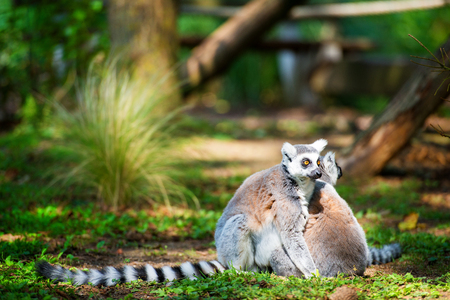 Two ring-tailed lemurs embraced together