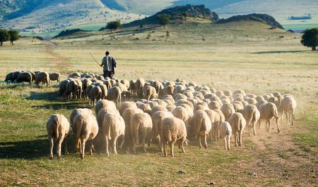羊飼いと羊の群れ 写真素材