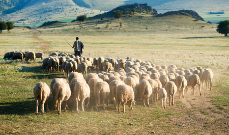 Shepherd and herd of sheep