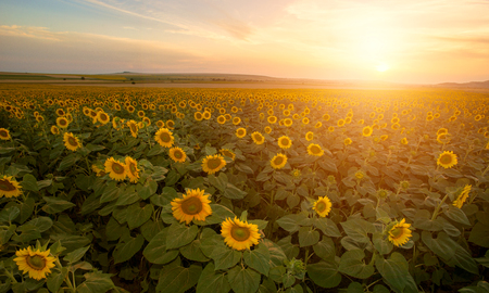 sunflower field Standard-Bild - 106318244