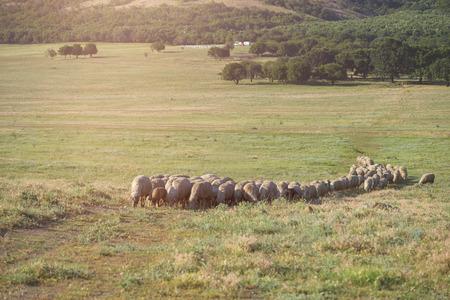 sheep grazing in summer time Standard-Bild - 106318248