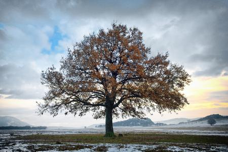 single oak in the winter time Standard-Bild - 106318256