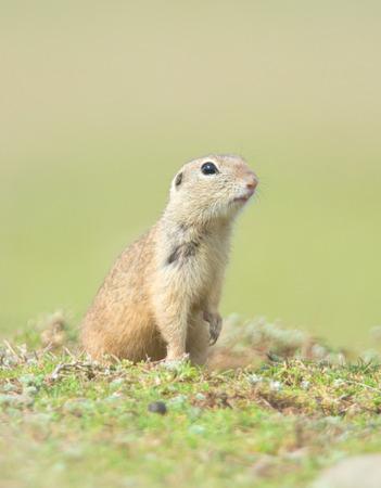 prairie dog on field in summer Standard-Bild - 106318257