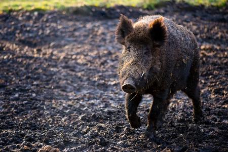 Wild boar male in the forest (sus scrofa) Standard-Bild - 106318261