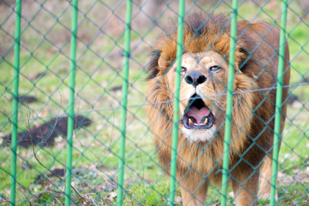 Lion in the zoo behind the fence