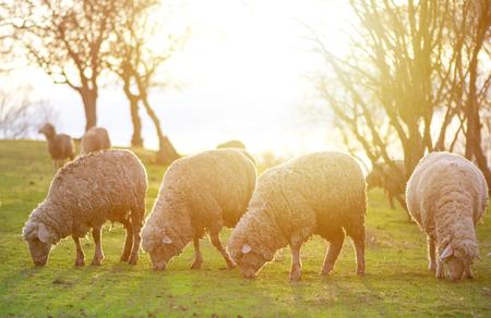 Sheep grazing, in the background sunset Standard-Bild - 110837640