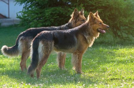 Two german shepherd dogs Standard-Bild - 110837750
