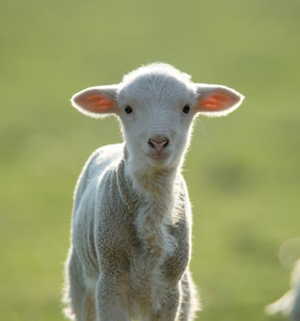 Cute lamb looking at camera Standard-Bild - 110837753