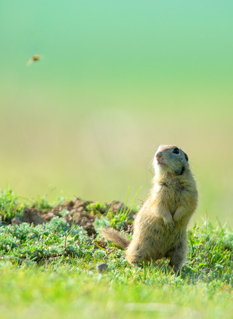 prairie dog on field in summer Standard-Bild - 110837755