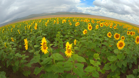 Sun flower field in a cloudy day Standard-Bild - 110837820