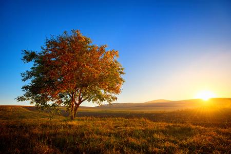 Walnootboom alleen in het veld bij zonsondergang